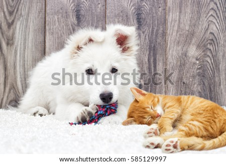Berger Blanc Suisse Puppy Kitten Fluffy Stock Photo Edit Now
