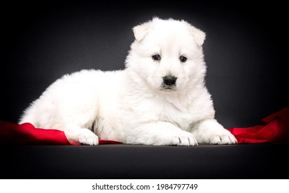 Berger Blanc Suisse puppy in a red scarf on a black background