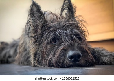 A Berger de Picard / Picardy Sheepdog dog, female, brindle colour with head on ceramic tiled floor indoors