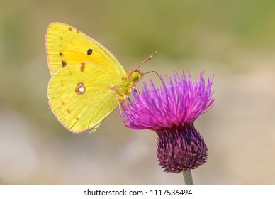 Berger's Clouded Yellow butterfly - Colias alfacariensis, beautiful large yellow butterfly from Eastern European meadows and grasslands.