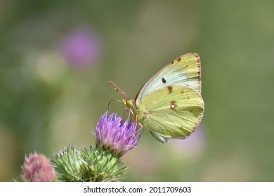 Berger's clouded yellow butterfly collecting nectar on flower in nature(Colias alfacariensis). Beautiful yellow butterfly on meadow