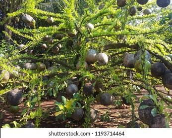 Berimbau gourd plant