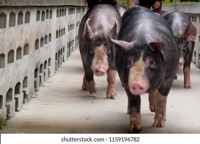Berkshire Pig or Kurobuta Pig -swine farming business in relax time. Pigfarmingis the raising and breeding of domestic pigs as livestock. Pig business