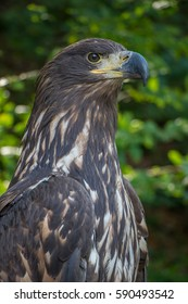 Berkut (lat Aquila chrysaetos.) - One of the best known birds of prey of the family Accipitridae, the largest eagle. Distributed in the northern hemisphere, where lives mainly in the mountains