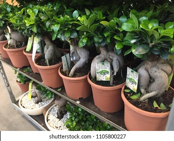 Berlin, Germany - May 26, 2018: Ficus Ginseng bonsai Retusa, shaped in an s-curved trunk and has oval, dark green leaves. Interior of a plant shop