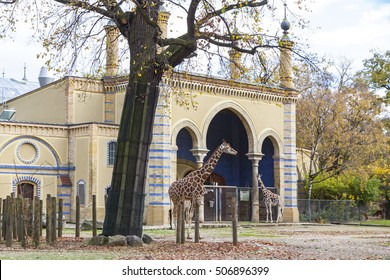 BERLIN, GERMANY - NOVEMBER 9, 2013: Family of Reticulated giraffes (also known as the Somali giraffe) walk on near the asian style building in Berlin Zoo