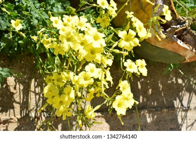 Bermuda buttercup (Oxalis pes-caprae) yellow flowers