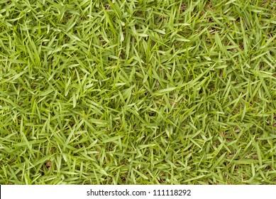Bermuda Grass - Cynodon dactylom. Unsharpened file