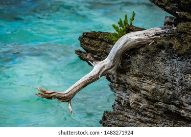 BERMUDA - November 2018: Wooden branch hanging off the rocks on the Atlantic Ocean.