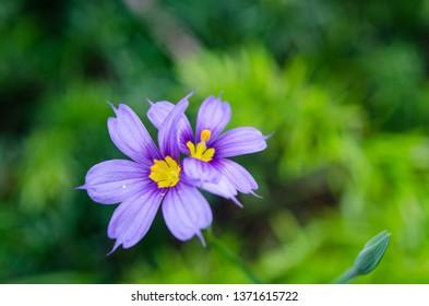The Bermudiana is the national flower of Bermuda