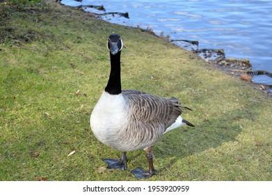 a bernache du Canada est une grande espèce d'oie sauvage avec une tête noire et du cou, des taches blanches sur le visage, et un corps brun.