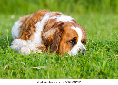 Bernard dog, Bernard