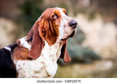 Bernardshund,  Bernard dog