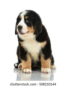 Berner Sennenhund or Bernese Mountain puppy sitting in studio looking at camera thinking isolated on a white background