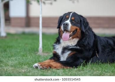 berner sennenhund one dog sitting 260nw
