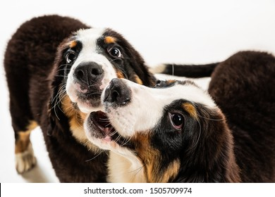 Berner sennenhund puppies posing. Cute white-braun-black doggy or pet is playing on white background. Looks attented and playful. Studio photoshot. Concept of motion, movement, action. Negative space.