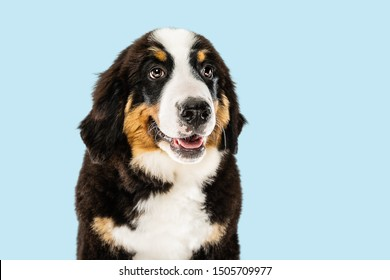 Berner sennenhund puppy posing. Cute white-braun-black doggy or pet is playing on blue background. Looks attented and playful. Studio photoshot. Concept of motion, movement, action. Negative space.
