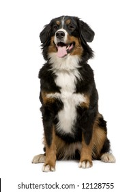 Bernese mountain dog (1 year) in front of a white background
