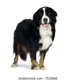 Bernese mountain dog (4 years) in front of a white background