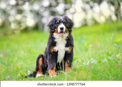 Bernese mountain dog 5 months old