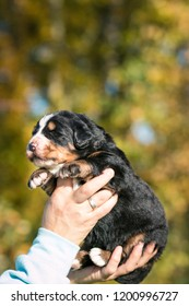 Bernese mountain dog baby in man hands. 2 weeks old puppy in kennel.