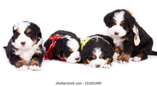 Bernese Mountain Dog. Beautiful Puppies.