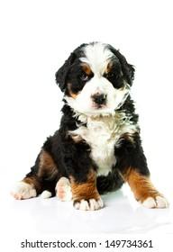 Bernese Mountain Dog. Beautiful puppy.