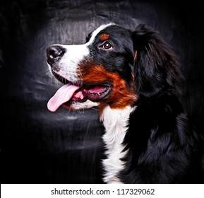 Bernese mountain dog (Berner Sennenhund) puppy in studio