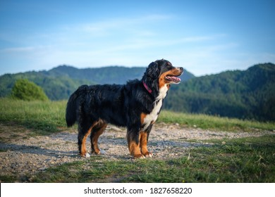 Bernese Mountain Dog in evening sun