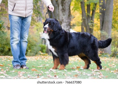 Bernese mountain dog female in the beautiful autumn park.