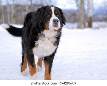 Bernese Mountain Dog, female standing  in snow, greeting visitor.