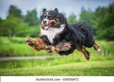 Bernese mountain dog flying in the air