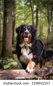 Bernese mountain dog in forest