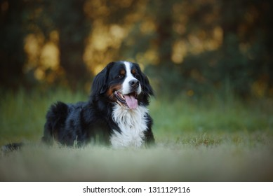Bernese mountain dog in the forest.