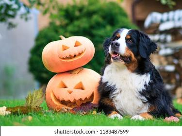 Bernese mountain dog with halloween pumpkins. Dog and pumpkins.