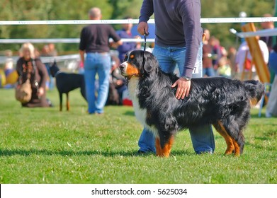Bernese mountain dog with it's handler on dog contest