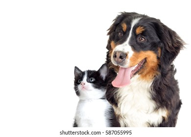 Bernese Mountain Dog and kitten on a white background
