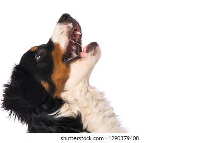 Bernese mountain dog looking up