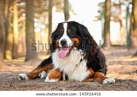 Bernese mountain dog lying