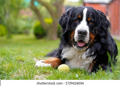 Bernese Mountain Dog lying on the grass in the garden, tennis ball next to him.