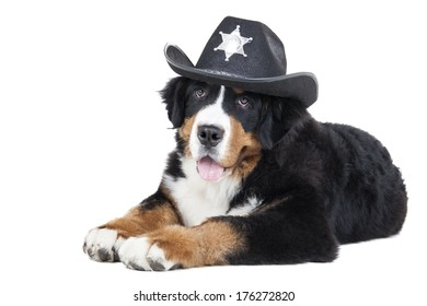 Bernese Mountain Dog on a white background