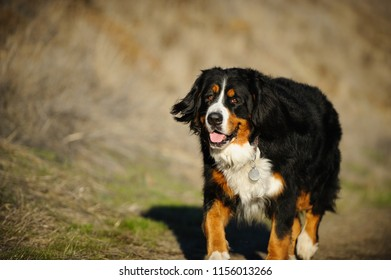 Bernese Mountain Dog outdoor portrait walking through natural environment