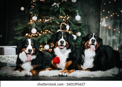 Bernese mountain dog posing near christmas tree. Santa claus dog portrait. Christmas dog portrait.