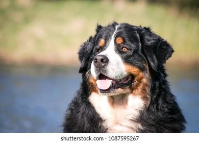 Bernese mountain dog posing outside.