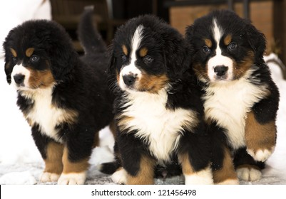 Bernese mountain dog puppets watching seriously after movement