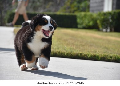 Bernese Mountain Dog Images Stock Photos Vectors
