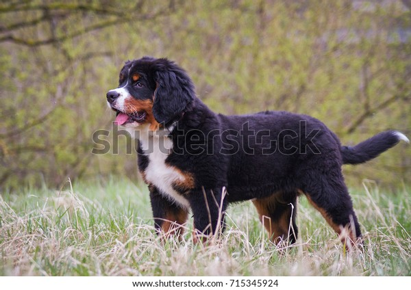 Bernese Mountain Dog Puppy 4 Months Royalty Free Stock Image