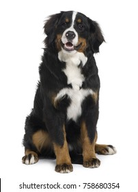 Bernese mountain dog puppy, 6 months old, sitting in front of white background