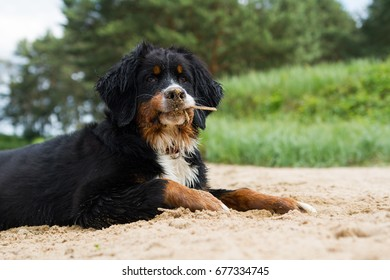 Bernese mountain dog puppy in the beach play. Puppy in the beige playing.
