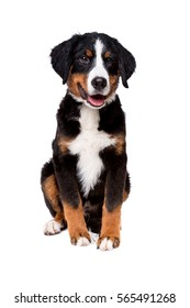 bernese mountain dog puppy in front of a white background
